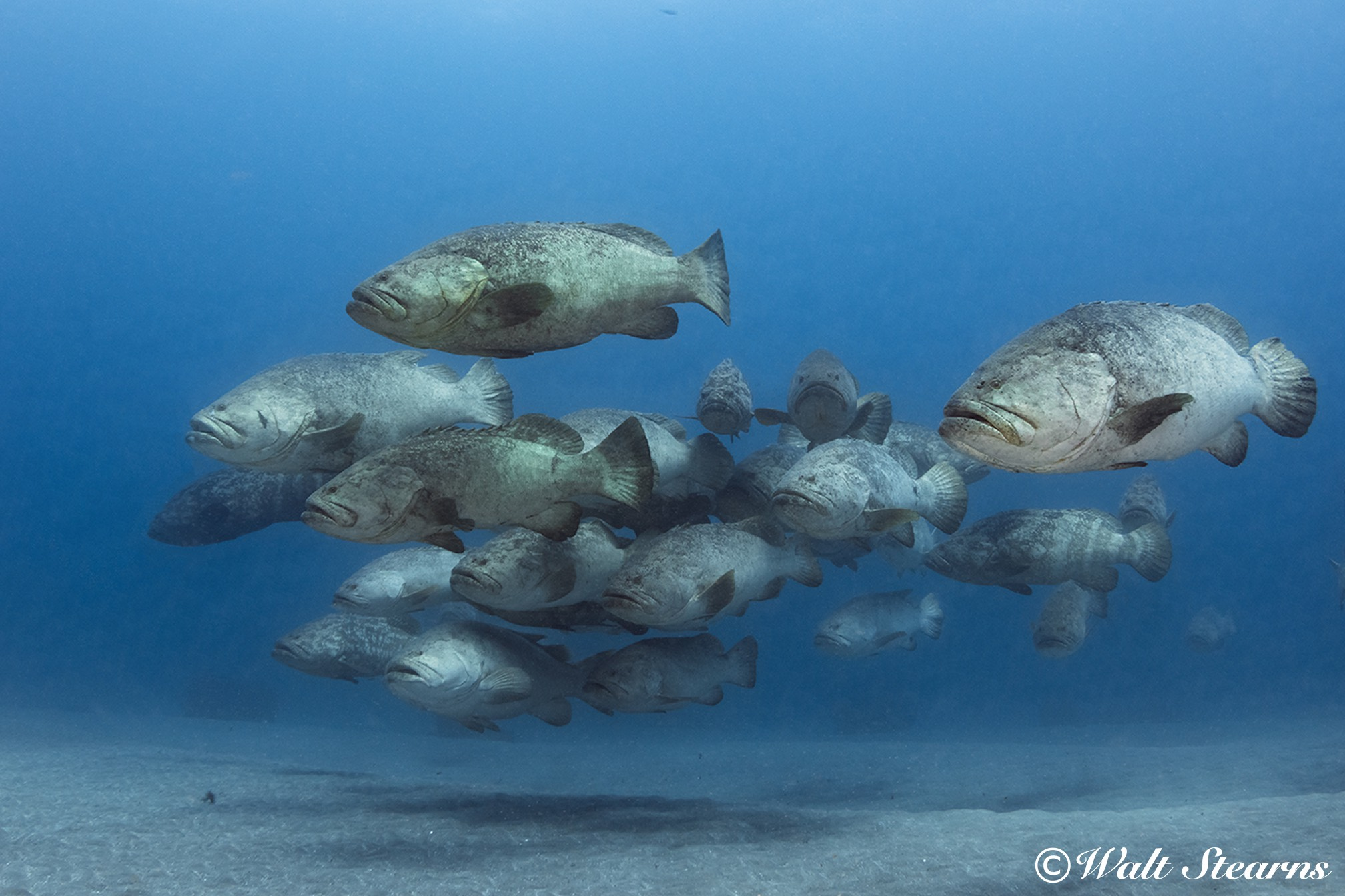 goliath grouper aggregations